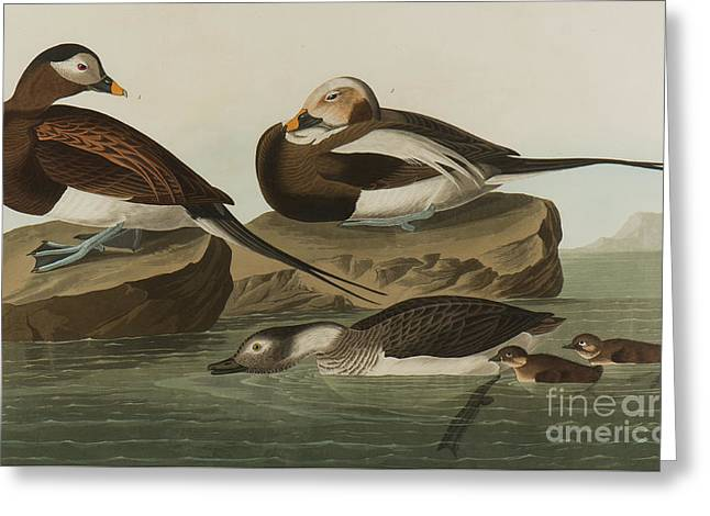 Long Tailed Duck, 1836  Greeting Card