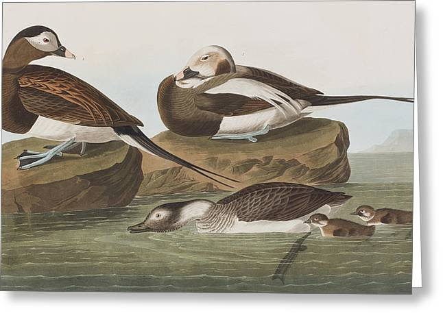 Long Tailed Duck Greeting Card by John James Audubon
