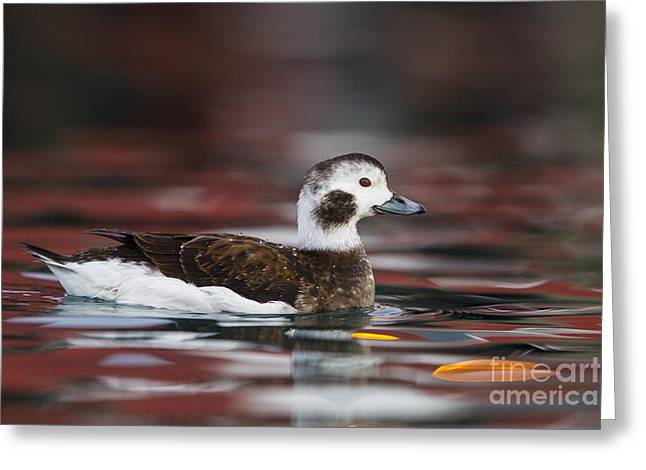 Long-tailed Duck Greeting Card by Jules Cox/FLPA