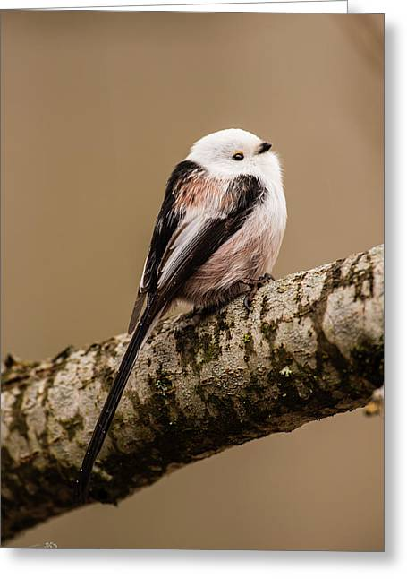 Long-tailed Tit On The Oak Branch Greeting Card