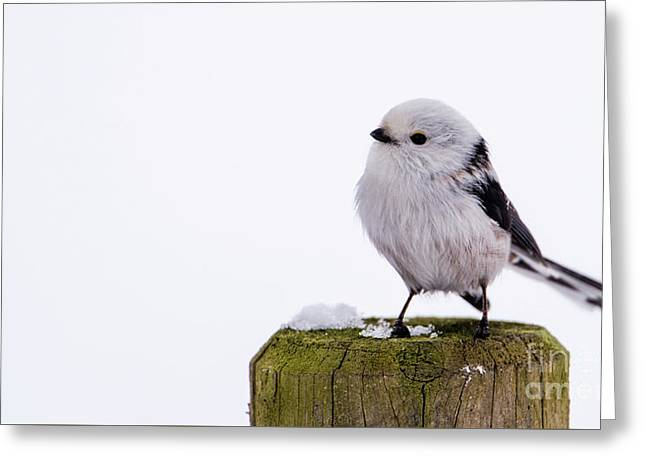 Long-tailed Tit On The Pole Greeting Card
