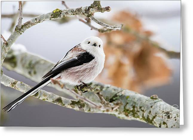 Long-tailed Tit Greeting Card by Torbjorn Swenelius