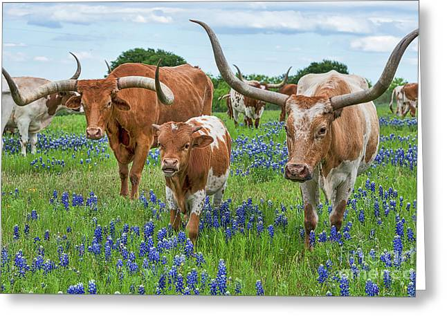 Longhorn Family In Bluebonnets Greeting Card by Tod and Cynthia Grubbs