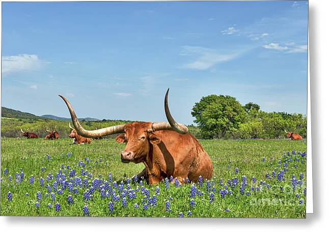 Longhorn In Bluebonnets Greeting Card by Tod and Cynthia Grubbs