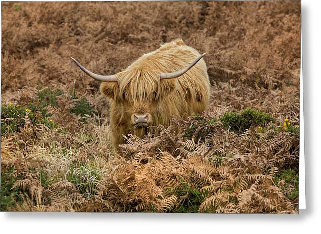 Longhorn On Dartmoor Greeting Card