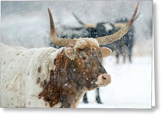 Longhorn Winter Greeting Card by Mike Dawson