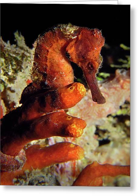 Longsnout Seahorse, St. Croix, U.s. Virgin Islands 2 Greeting Card