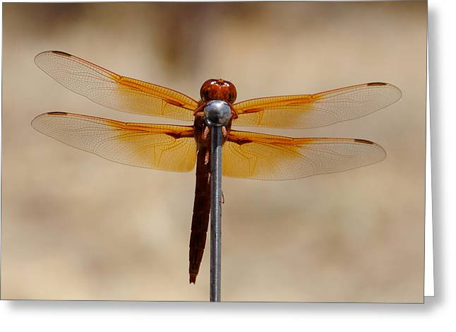 Lookin' For Love In All The Wrong Places - Dragonfly, Atascadero, California Greeting Card