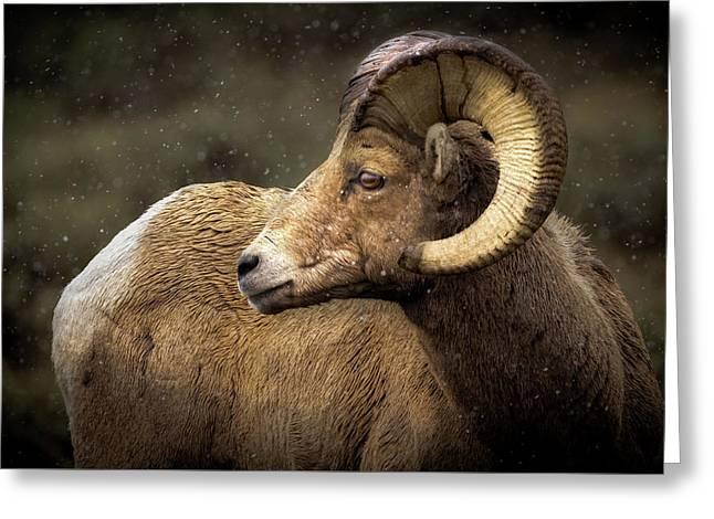 Looking Back - Bighorn Sheep Greeting Card