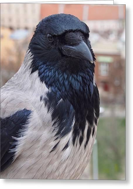 Looking Back - Hooded Crow Greeting Card