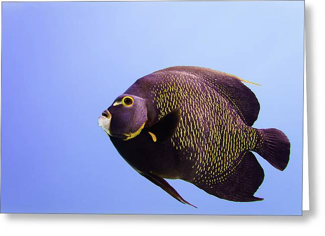Looking For A Soulmate -  French Angelfish Greeting Card by Ellie Teramoto
