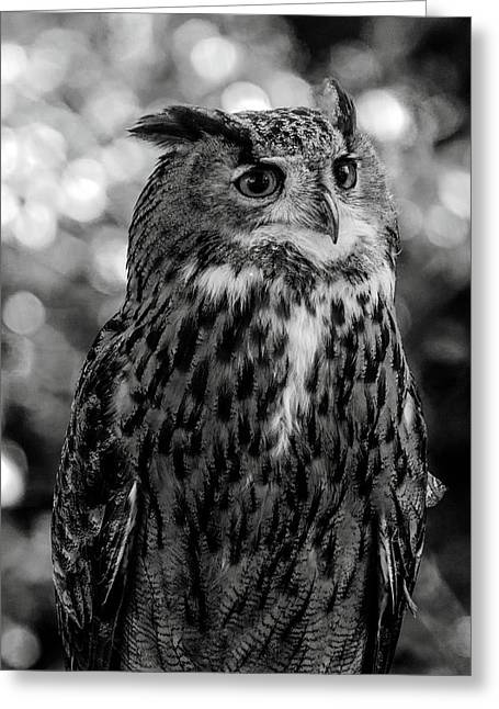 Greeting Card featuring the photograph Looking Owl  by Cliff Norton