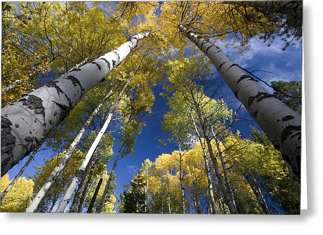 Looking Up At Autumn Aspens Greeting Card by Ed Book