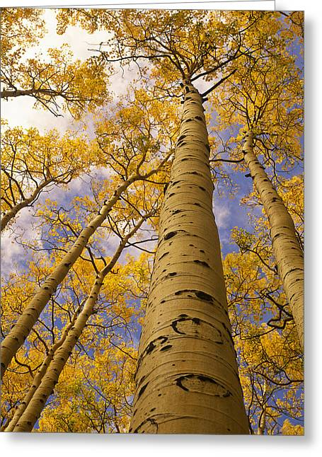 Image Setting Greeting Cards - Looking Up At Towering Aspen Trees Greeting Card by Ralph Lee Hopkins