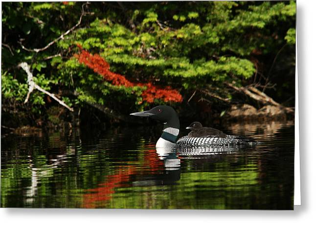 Loon And Chick Greeting Card