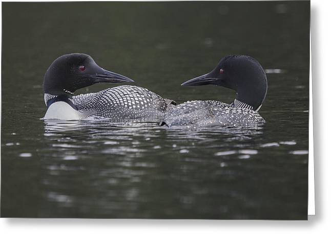 Loon Pair Greeting Card
