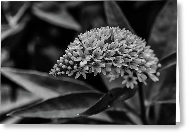 Loosestrife - Black And White Greeting Card