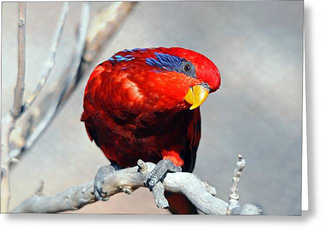 Lorikeet 1 Greeting Card
