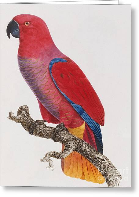 Lorikeet Greeting Card by Jacques Barraband