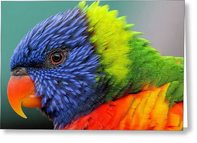 Lorikeet Portrait Greeting Card