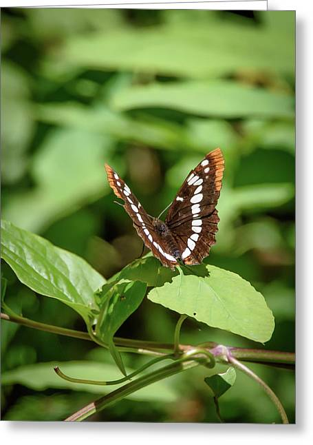 Lorquin's Admiral Butterfly Greeting Card