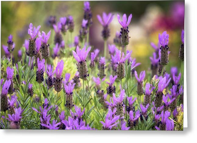 Greeting Card featuring the photograph Lots Of Lavender  by Saija Lehtonen