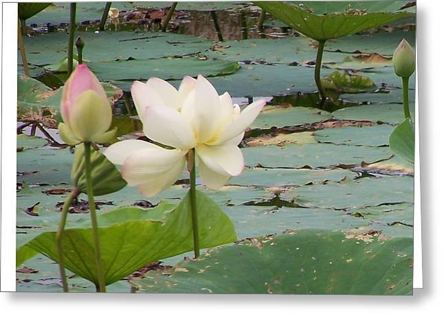 Lotus And Bud Greeting Card