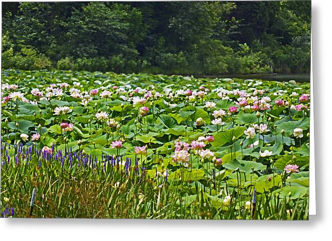 Lotus And Pickerelweed Greeting Card by Paul Mashburn