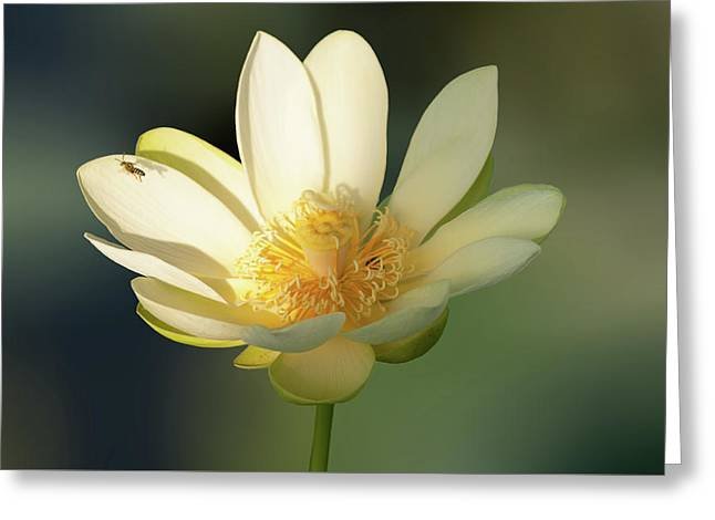 Greeting Card featuring the photograph Lotus Beauty by Carolyn Dalessandro