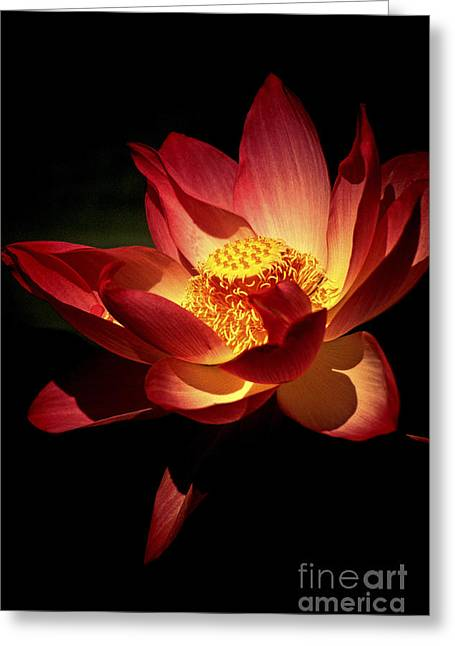 Lotus Blossom Greeting Card by Paul W Faust -  Impressions of Light