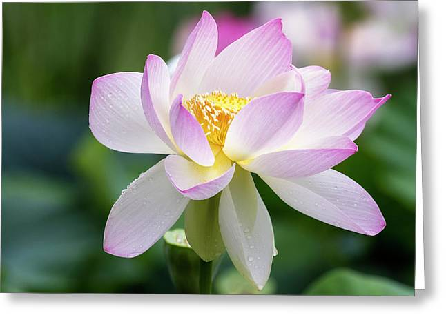 Greeting Card featuring the photograph Lotus by Edward Kreis