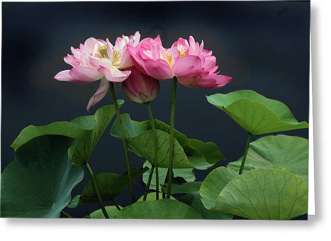 Lotus Embrace Greeting Card by Jessica Jenney