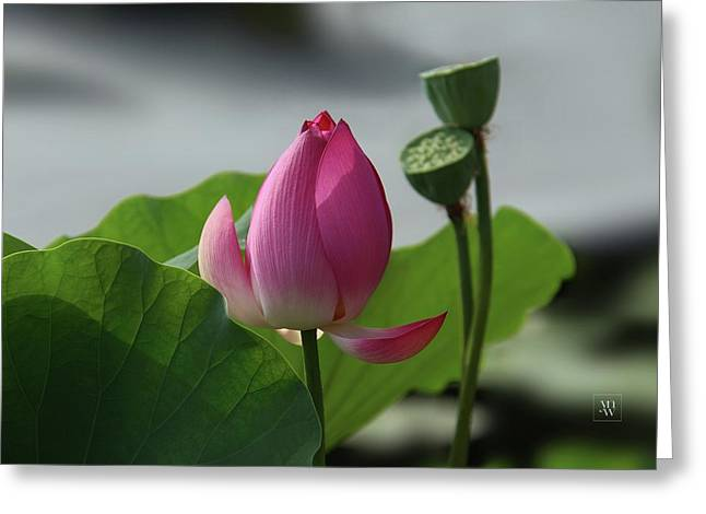 Lotus Flower In Pure Magenta Greeting Card