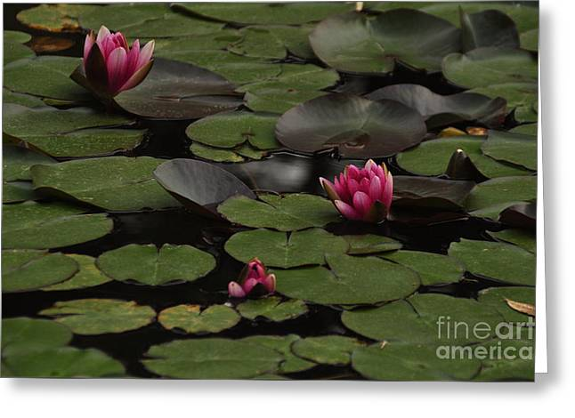 Lotus II Greeting Card by Stevyn Llewellyn