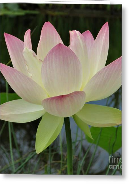 Lotus In Full Bloom II Greeting Card