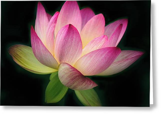 Lotus In The Limelight Greeting Card by Jessica Jenney