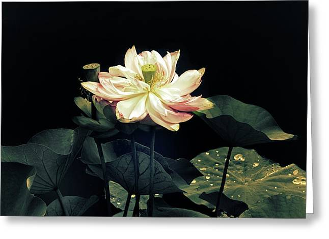 Lotus Nelumbo Greeting Card by Jessica Jenney