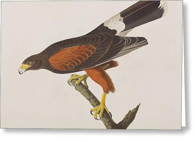 Louisiana Hawk Greeting Card by John James Audubon