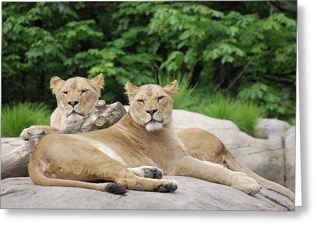 Lounging Lions Greeting Card by Samantha Kimble