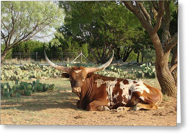 Lounging Longhorn Greeting Card
