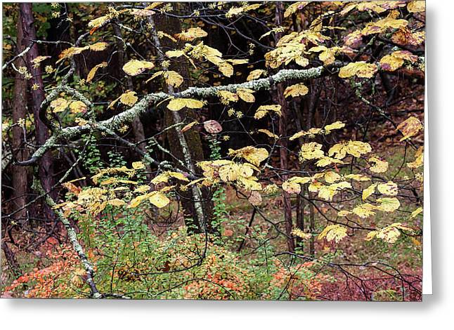 Lovely Autumn Witch Hazel -   Greeting Card