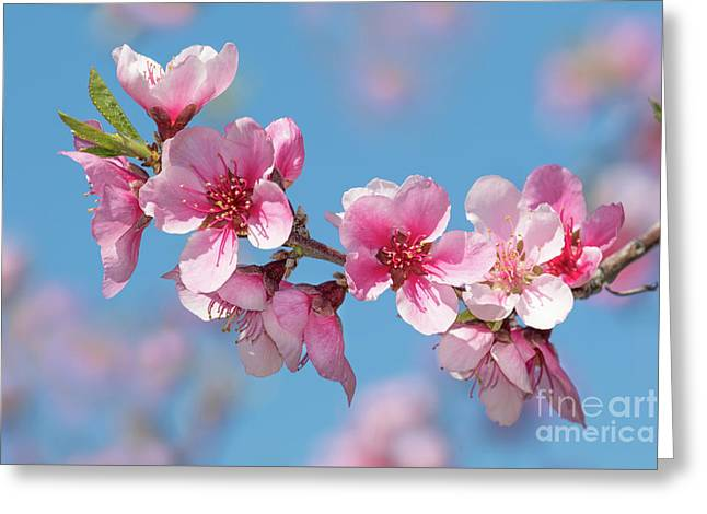 Lovely Blossoms Greeting Card by Mimi Ditchie