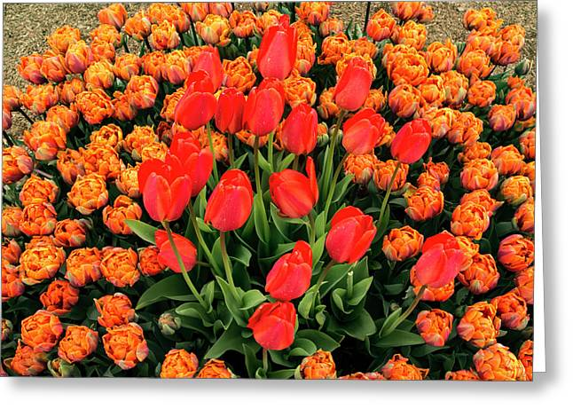 Lovely Bunch Of Tulips Greeting Card by Jean Noren