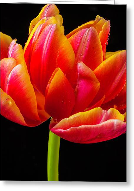 Lovely Fancy Red Tulip Greeting Card by Garry Gay