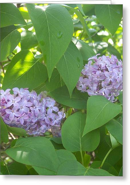 Lovely Lilacs 2 Greeting Card by Anna Villarreal Garbis