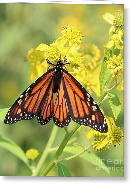 Lovely Monarch Greeting Card by Anita Oakley