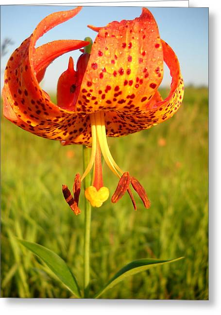 Lovely Orange Spotted Tiger Lily Greeting Card