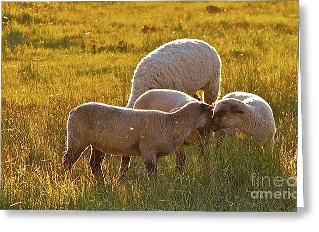 Lovin Lambs Greeting Card by Gus McCrea
