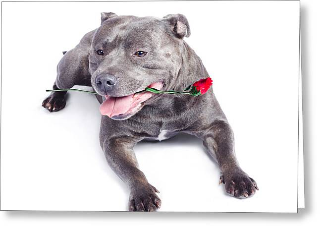 Loving Dog Carrying Red Rose In Mouth Greeting Card by Jorgo Photography - Wall Art Gallery