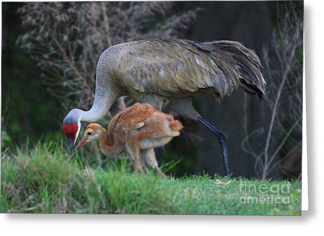 Loving Sandhill With Colt Greeting Card by Carol Groenen